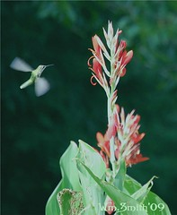 Humming Bird (Bill's_Eye_View) Tags: hummingbird callalily