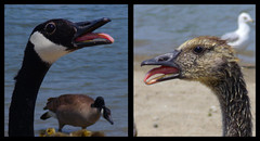 Like Father Like Son (Andrew Senay) Tags: family baby lake ontario bird birds animals mouth geese photo goose windsor gosling senay blueheronlake andrewsenay