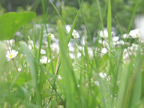 daisies (bellis)