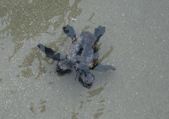 Two headed seaturtle (charlestonscaltered) Tags: two turtle headed
