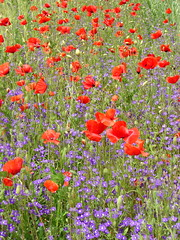 Red & Purple (Marco Di Fabio) Tags: flowers red italy plants flores flower verde green grass garden botanical rojo plantas italia flor meadow jardin images erba botanico poppy getty fiori onsale fiore piante rosso botanicalgarden opium prato viterbo vt jardinbotanico gettyimages purplish pradera giardino lazio oppio hierba opio ortobotanico orto amapola papavero purpurea bullicame tuscia purpureo aplusphoto diamondclassphotographer colourartaward platinumheartaward