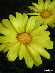 Argyranthemum (monteregina) Tags: flowers plants canada macro nature yellow closeup fleurs jaune flora natur blumen qubec plantae chrysanthemum flore onblack compositae monteregina astraces dilldaisy argyramthemum