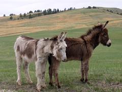 Baby Mules