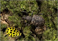 Weevil and Ladybird