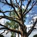 Dead Oak tree