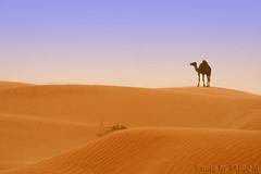 Camel (TARIQ-M) Tags: blowingsand