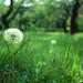 草原の綿毛