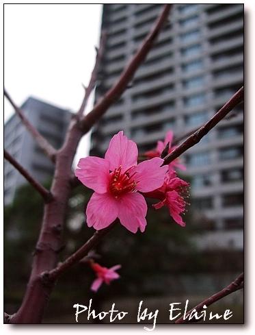 2009櫻花3