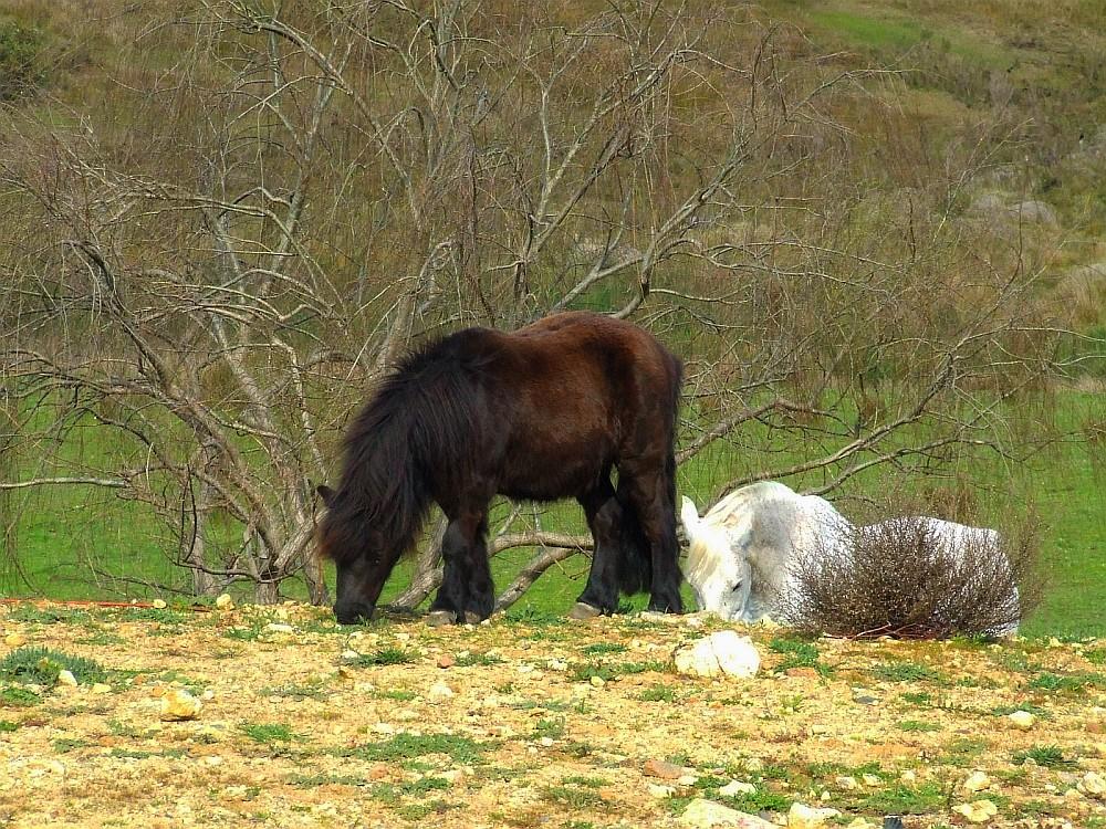 dales-ponies