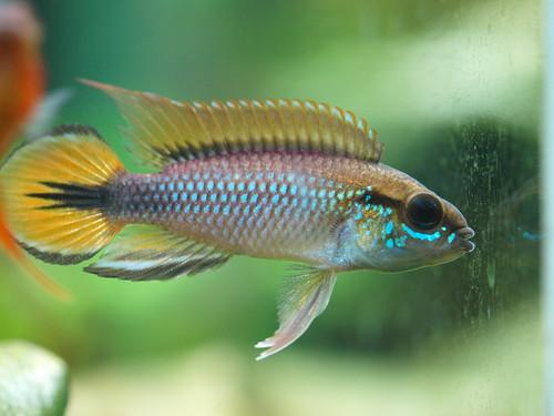 P3025486 藍體紅尾阿卡西