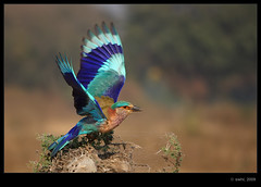 Roller display (swaheel) Tags: blue fab india bird colors digital canon eos rebel wings kiss colours searchthebest display zoom indian bangalore flight feathers kerala off hues roller take takeoff efs xsi x2 kottakkal naturesfinest karanataka bengaluru hesarghatta specanimal 450d malappuram 55250 swaheel 55250is