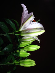 Flourish (Manuel Barroso Parejo) Tags: white black flower color colour verde green blanco vertical negro flor colores escalera contraste growing progression flourish crecimiento lillium progresión aplusphoto colourartaward colorartaward coloursplosion