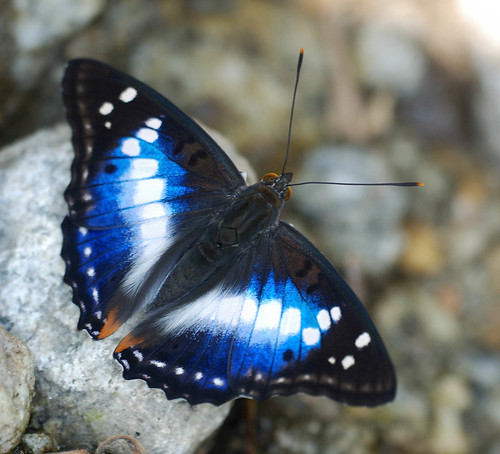 Purple Emperor Butterfly, Purple Emperor Butterfly Pictures