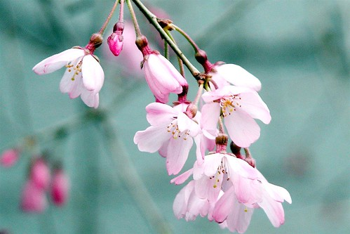 So weeping cherry