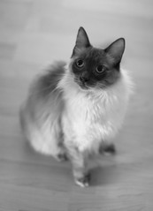 Hmmmm? (segamatic) Tags: portrait bw pet up cat canon eos mix looking zorro himalayan photofaceoffwinner pfogold sigma50mmf14exdghsm 5dmarkii fotocompetition fotocompetitionbronze 5dmkii