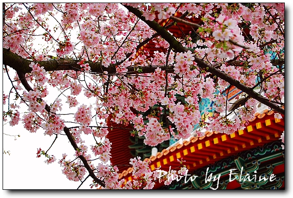 2009天元宮櫻花2