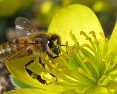 Honey Bee on Winter Aconite, Eranthis hyemalis