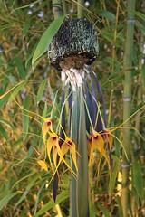 Masdevallia caesia (joeysplanting) Tags: orchid orchidaceae poe masdevallia pacificorchidexposition masdevalliacaesia upcoming:event=285879 poe2009 pacificorchidexposition2009