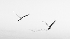fly away ..! (Eng.N) Tags: bw birds fly qtr  explored engn canon450d ~engn
