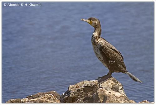 اللوهة - غراب البحر- Cormorant by Ahmed K.