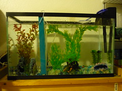 home, sweet home (cryingdevil86) Tags: pet fish color beauty aquarium tank betta bubblenest femalebetta malebetta
