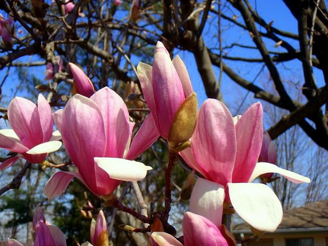 soft leaf magnolias