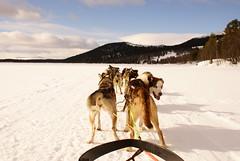 Dogsleding On Lake Fefor Norway