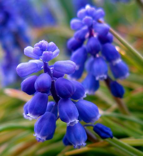 purple bells ringing