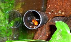frog in a film canister (missjenn) Tags: film strawberry amphibian frog poison canister dart terrarium