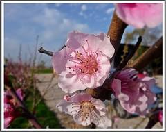 Peach Blossom (*terry) Tags: flowers blossom peach fourseasons fiori 4seasons peachblossom pinkflowers fiorerosa fioredipesco