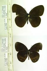 Manerebia cyclopina