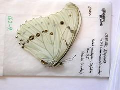 Morpho polyphemus