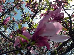 Magnolia (leafytreeful) Tags: pink flowers blue trees brown white flower macro tree green closeup purple blossom lexington kentucky blossoms arboretum magnolia lexingtonky magnolias universityofkentucky catchycolorspurple catchycolorspink ukarboretum