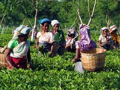 Tea picking woman (Linda DV (away for the WE)) Tags: woman india geotagged tea assam 2008 sevensisters 7sisters teapicking lindadevolder