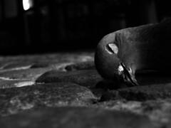 Morte a Ferrara (bellimarco) Tags: canon dead place ixus morte ferrara piazza piccione morto becco