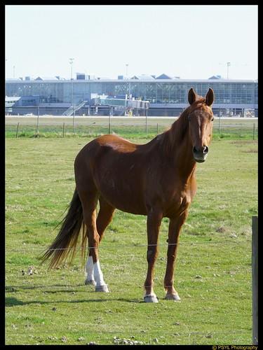 Horse (Equus spp.)
