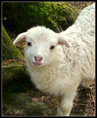 Baby Sheep (ghrian) Tags: sheep lamb 1001nights breathtaking lamm wonderworld bej heidschnucke lmmchen impressedbeauty flickraward diamondstars goldstaraward rubyphotographer breathtakinggoldaward expressyourselfaward