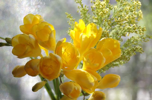 フリージアの花言葉|赤・ピンク・白・黄色・紫・オレンジ