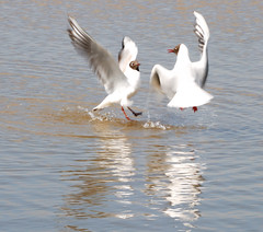 Fighting. Playing or Mating (keithhull) Tags: seagulls white water birds reserve explore spash refection inmotion rspb naturesfinest blacktoftsands blackheadedgulls explorewinnersoftheworld saariysqualitypictures seeninexplore234200990