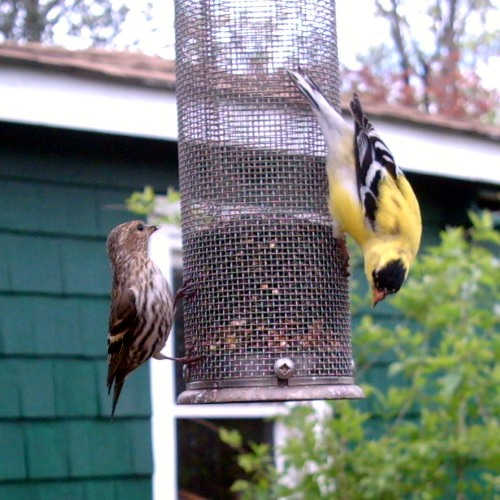 Siskin & Goldfinch