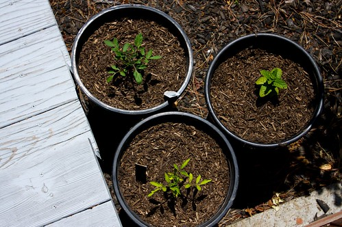 productive sunday: planted more tomatoes & some mint