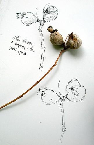 Nature drawings--galls