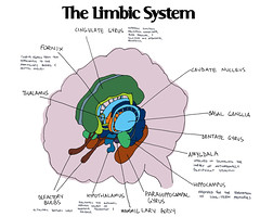 limbic system notes (labguest) Tags: brain human anatomy cortex neuroscience hormones limbicsystem