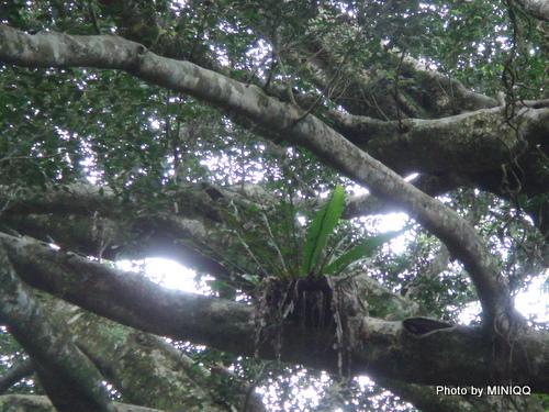 植物住在白榕上