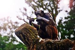Charming chimp (zzclef) Tags: cute photoshop nikon chimp ape charming perak d300 18200mmvr zootaiping zzclef