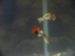 fishvid (endodontologist howie) Tags: fish animal female aquarium fry tank guppy guppies livebearer