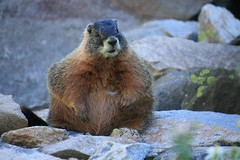 So foul, so cruel, that no man has fought with it, and lived! (posthumus_cake (www.pinnaclephotography.net)) Tags: animal rodent furry critter montypython rockymountains marmot wyoming grandtetonnationalpark yellowbelliedmarmot fatanimals upperpaintbrushcanyon