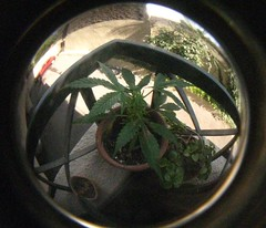Antonia :) (Say hello to my little firend :)) Tags: weed cannabis marihuana