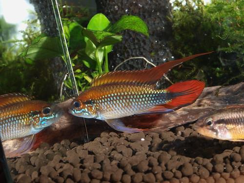 P5296935  藍體紅尾阿卡西