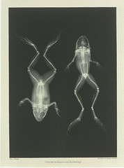 'Frosche in Bauch und Ruckenlage' (Frog on Back and Front) (National Media Museum) Tags: animal skeleton amphibian frog xray bones knowledge sapo inspiracion 1890s radiografia 1896 nationalmediamuseum